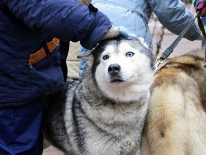 30 декабря 2018 года на Рождественской ярмарке - развлекательная программа с участием центра ездового собаководства «Чукавино»